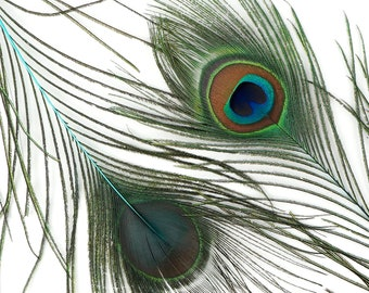 "Wholesale Peacock Eye Feathers 8-15"" - 5 to 100 pieces Dyed Light TURQUOISE Over Natural Peacock Tail Feathers Bulk  ZUCKER® USA"