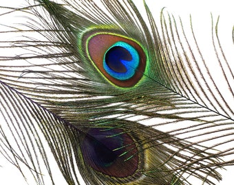 "Wholesale Peacock Eye Feathers 8-15"" - 5 to 100 pieces Dyed PURPLE Over Natural Peacock Tail Feathers Bulk  ZUCKER® USA"