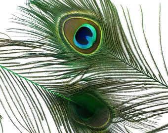 "Wholesale Peacock Eye Feathers 8-15"" - 5 to 100 pieces Dyed KELLY Over Natural Peacock Tail Feathers Bulk  ZUCKER® USA"