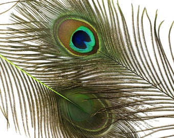 "Wholesale Peacock Eye Feathers 8-15"" - 5 to 100 pieces Dyed LIME Over Natural Peacock Tail Feathers Bulk  ZUCKER® USA"