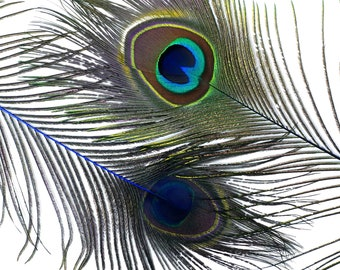 "Wholesale Peacock Eye Feathers 8-15"" - 5 to 100 pieces Dyed ROYAL Over Natural Peacock Tail Feathers Bulk  ZUCKER® USA"