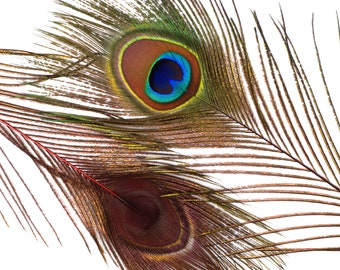"Wholesale Peacock Eye Feathers 8-15"" - 5 to 100 pieces Dyed RED Over Natural Peacock Tail Feathers Bulk  ZUCKER® USA"
