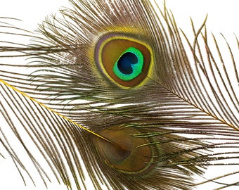"Wholesale Peacock Eye Feathers 8-15"" - 5 to 100 pieces Dyed YELLOW Over Natural Peacock Tail Feathers Bulk  ZUCKER® USA"