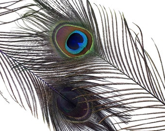 "Wholesale Peacock Eye Feathers 8-15"" - 5 to 100 pieces Dyed REGAL Purple Over Natural Peacock Tail Feathers Bulk  ZUCKER® USA"