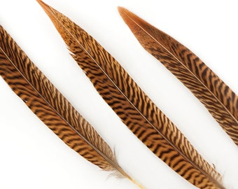 "Natural Tail Feathers - Short Golden Pheasant 8-10""  - Natural Color Golden Pheasant Tail Feathers ZUCKER®"