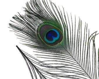 """BLACK 25pc/pkg 8-15"""" Dyed Peacock Tail Feathers -  Stem Dyed Peacock Tail Feathers with Small Iridescent Eyes ZUCKER™"""