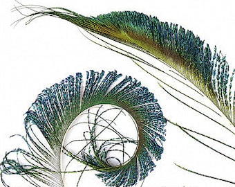 """Peacock Sword, 25 Pieces 25-30"""", Natural Peacock Sword Feathers Sanitized in USA ZUCKER®"""