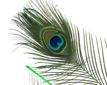"KELLY GREEN 25pc/pkg 8-15"" Dyed Peacock Tail Feathers -  Stem Dyed Peacock Tail Feathers with Small Iridescent Eyes ZUCKER®"