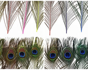 "BULK 8-15"" Dyed Peacock Tail Feathers MIX - 100pc/pkg Stem Dyed Peacock Tail Feathers with Large Iridescent Eyes ZUCKER®"