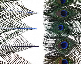 "BULK 8-15"" JEWEL Mix Dyed Peacock Tail Feathers - 100pc/pkg Stem Dyed Peacock Tail Feathers with Large Iridescent Eyes ZUCKER®"