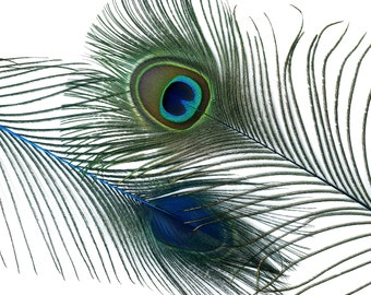 "Wholesale Peacock Eye Feathers 8-15"" - 5 to 100 pieces Dyed Dark TURQUOISE Over Natural Peacock Tail Feathers Bulk  ZUCKER® USA"