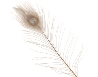 "IRIS 25pc/pkg 8-15"" Bleach Dyed Peacock Tail Feathers - Bleach Dyed Short Peacock Eye Tail Feathers ZUCKER®"