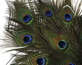 """25-35"""" Natural Peacock Feathers 12pc/pkg - Peacock Tail Feathers with Large Iridescent Eyes ZUCKER™"""