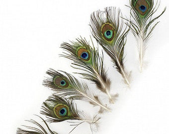"""2-4"""" Peacock Feathers, 25 Pieces, Mini Natural Peacock Tail Feathers - X-Small Eyes - ZUCKER® Dyed Sanitized USA"""