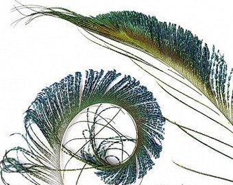 "Peacock Sword, 25 Pieces 25-30"", Natural Peacock Sword Feathers  ZUCKER®"