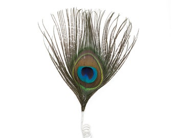 Small Decorative Natural Peacock Feather Accent for Millinery, Boutonniere and Corsage, Jewelry Design, Decor, Arts and Craft Supply ZUCKER®
