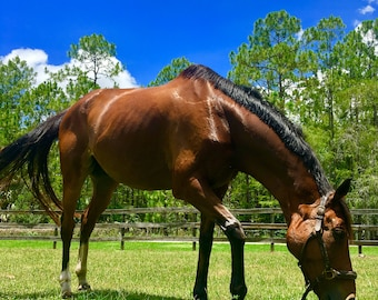 Thoroughbred in Pasture