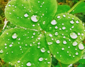 Shamrock in the Rain Forest