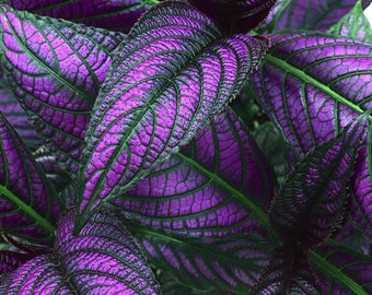 SUNDAY ONLY SALE 2 plants - 1 price! Royal Purple Persian Shield, iridescent purple leaf, shade loving, Bermuda conehead, tropical plant