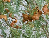 20 Faidherbia albida Seeds, Ana tree Seeds, Apple ring tree, apple-ring acacia, gao, white acacia, white-thorn, winter thorn