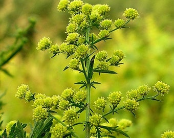 Qing Hao Einjähriger Beifuß 500 Samen Artemisia annua Sweet Wormwood