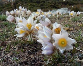 20 Pulsatilla vernalis Seeds, Spring Pasque Flower