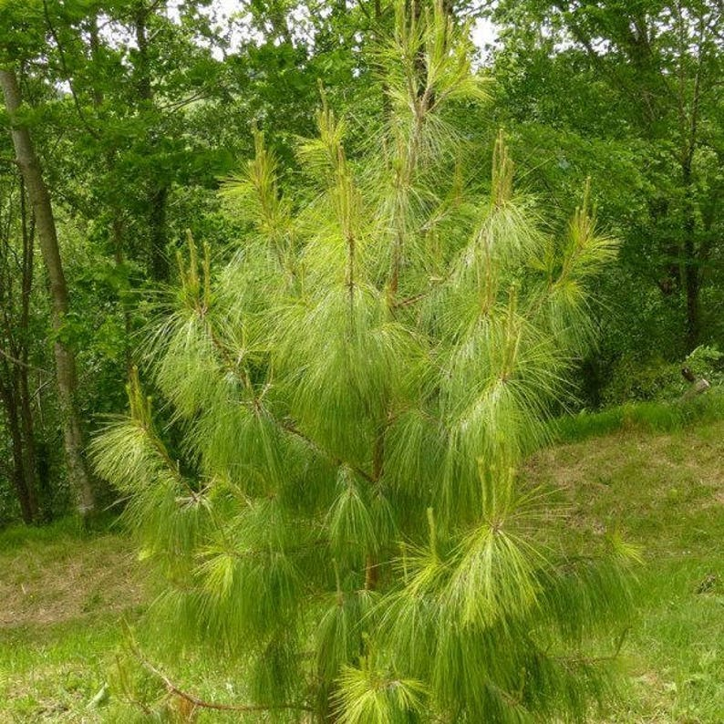 100 Pinus Patula Patula Pine Tree Seeds Mexican Weeping Etsy