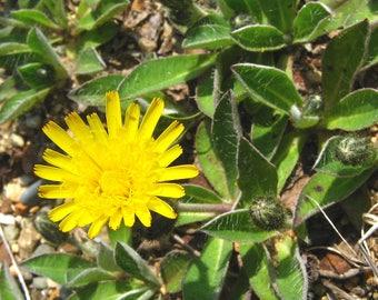 20 Hieracium pilosella Seeds, mouse-ear hawkweed