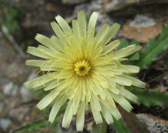 25  Hieracium intybaceum Seeds, LARGE FLOWERED HAWKWEED