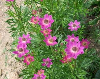 10 Anemone x lesseri Seeds, Windflower Seeds