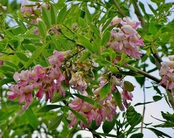 100  Gliricidia sepium Seeds, Gliricidia maculata, Gliricidia, Madre de Cacao