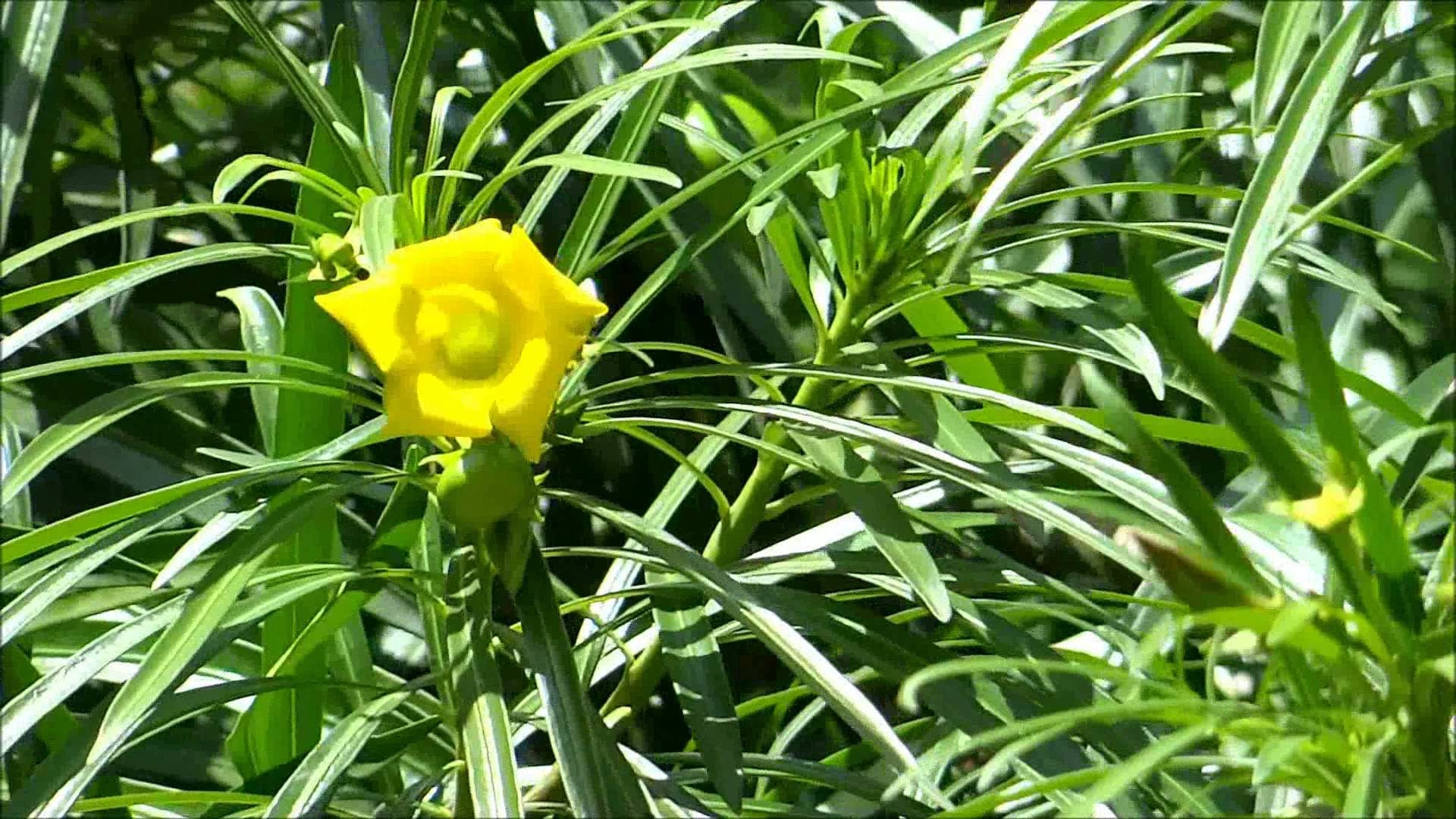 20 Thevetia Peruviana Mexican Oleander Tree Seeds Yellow Etsy