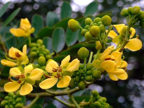 Cassia siamea SIAMESE CASSIA TREE golden yellow flowers SEEDS!