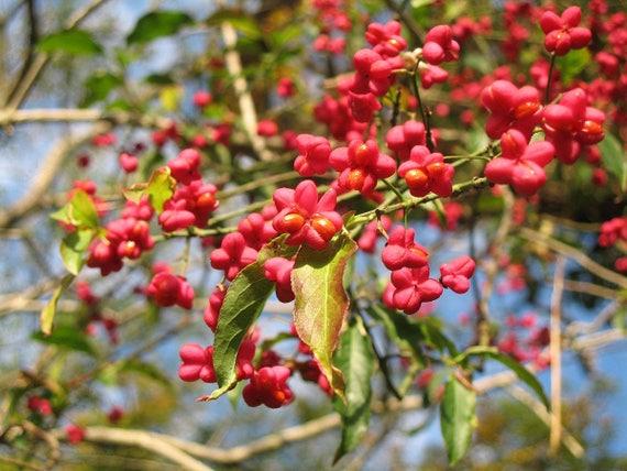 10 Euonymus fortunei Seeds Golden crown Seeds
