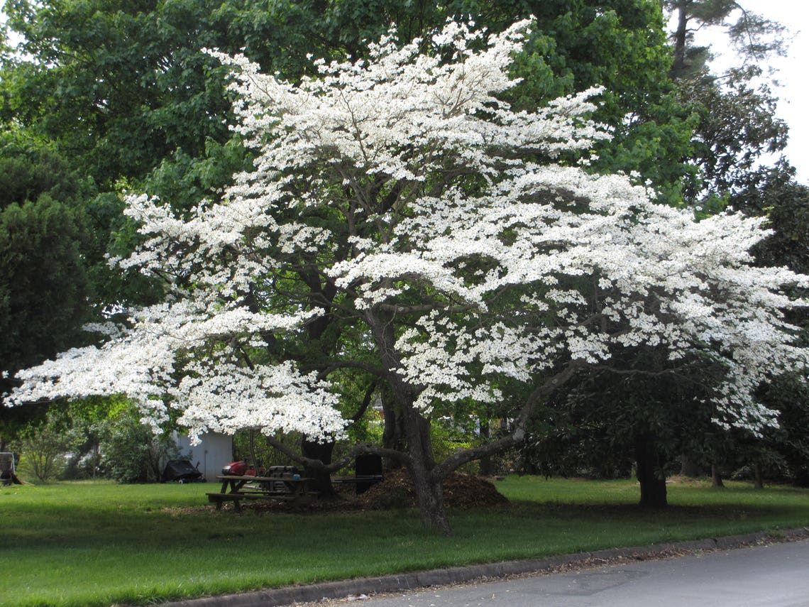 10  Cornus florida Seeds Flowering dogwood Seeds image 0