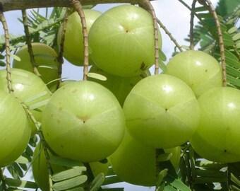 200 Phyllanthus emblica Seeds. Indian Gooseberry Seeds. Amla Seeds