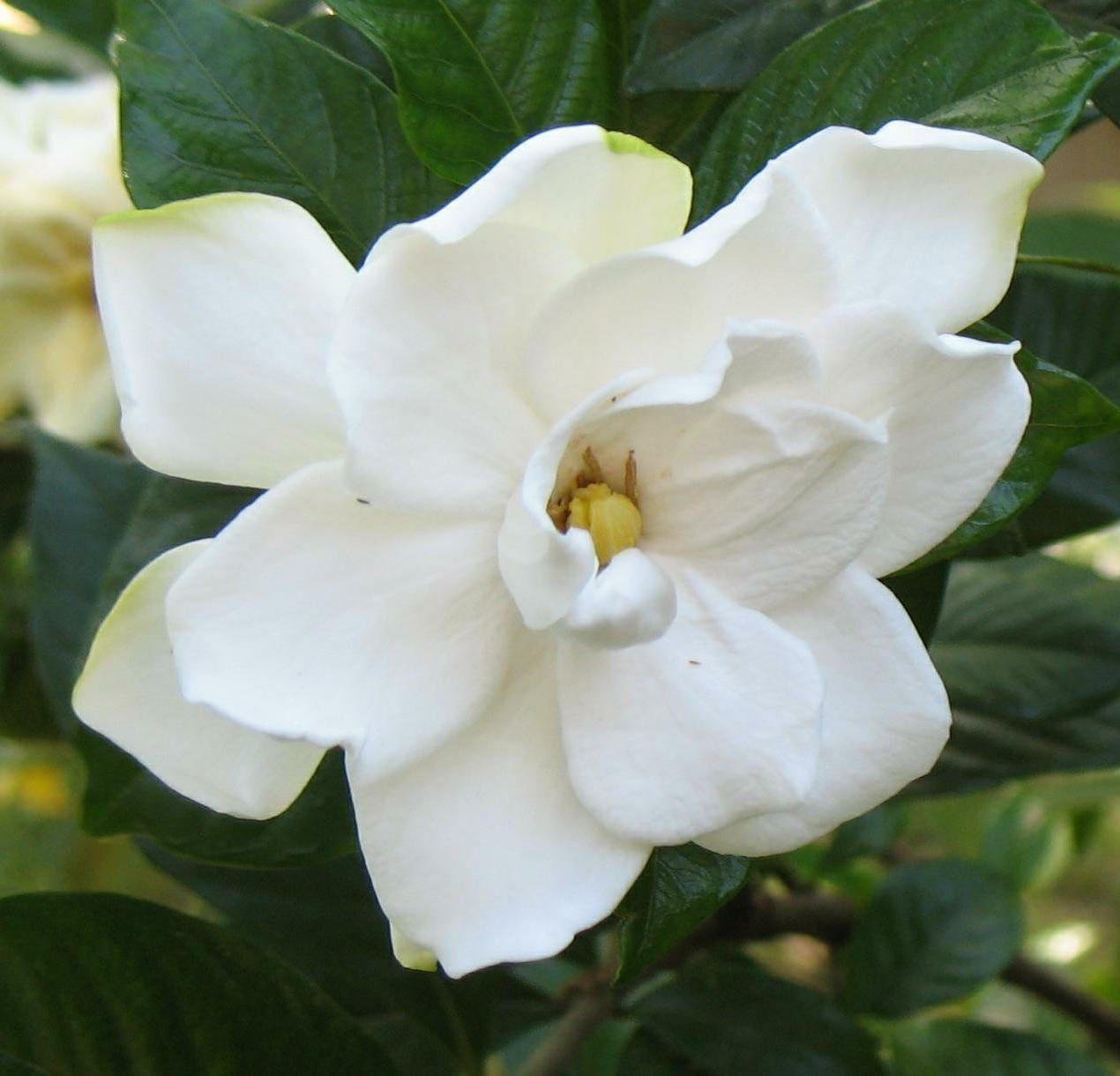 300 seeds gardenia jasminoides cape jasmine seeds common etsy zoom izmirmasajfo