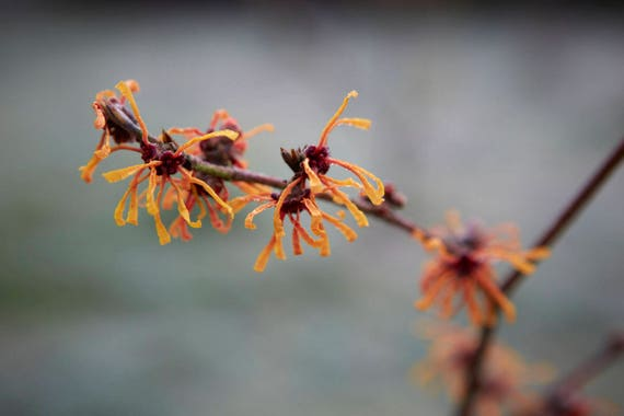 10 Seeds Hamamelis Japonica Variety Rubra Rubra Witch Hazel Etsy