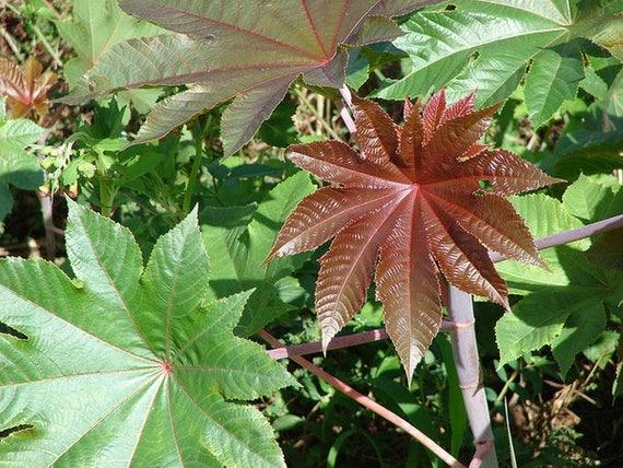 50 Seeds Ricinus Communis Castor Bean Castor Oil Plant Seeds Etsy