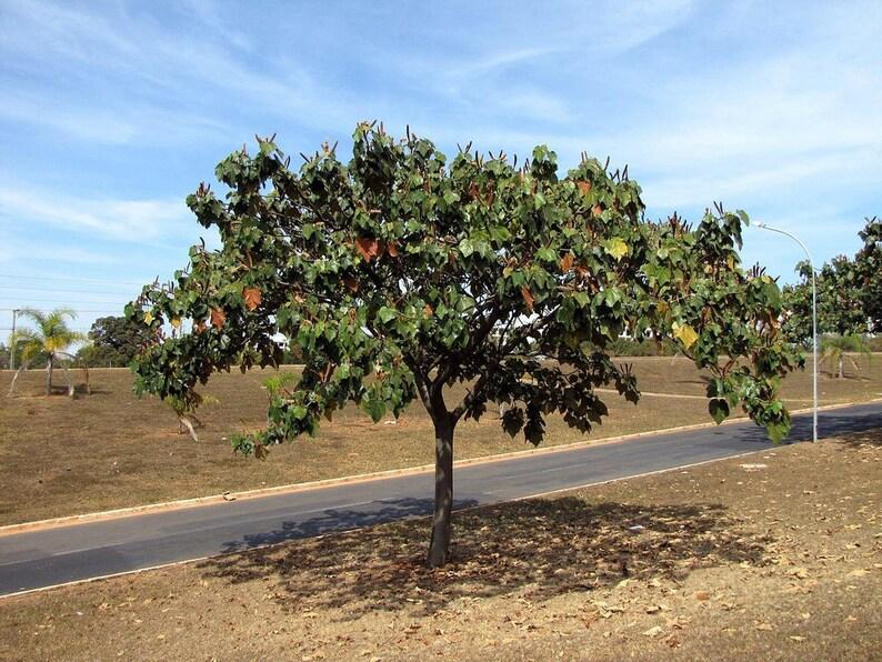 - 10 Seeds Lagopus Ochroma Pyramidale Balsa Wood Tree Lagopus