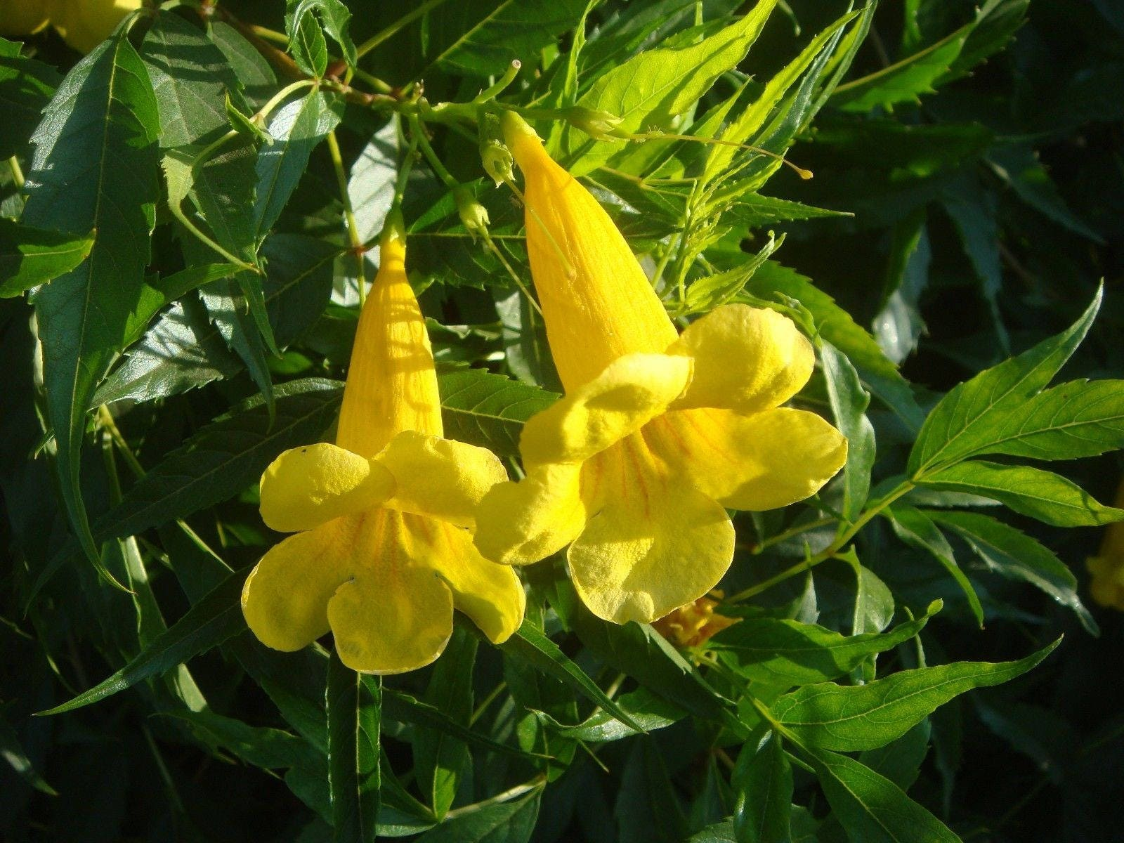 100 Tecoma Stans Seeds Yellow Bells Yellow Trumpet Yellow Etsy