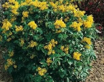 25 Mahonia aquifolium Seeds, Oregon Grape Seeds