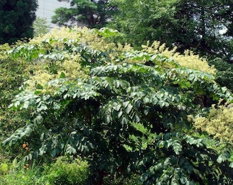 200 Aralia chinensis, Aralia Tree Seed, Chinese angelica tree Seeds