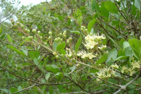300 Lawsonia Inermis Seedshenna Plant Seed Mehandi Dye Etsy