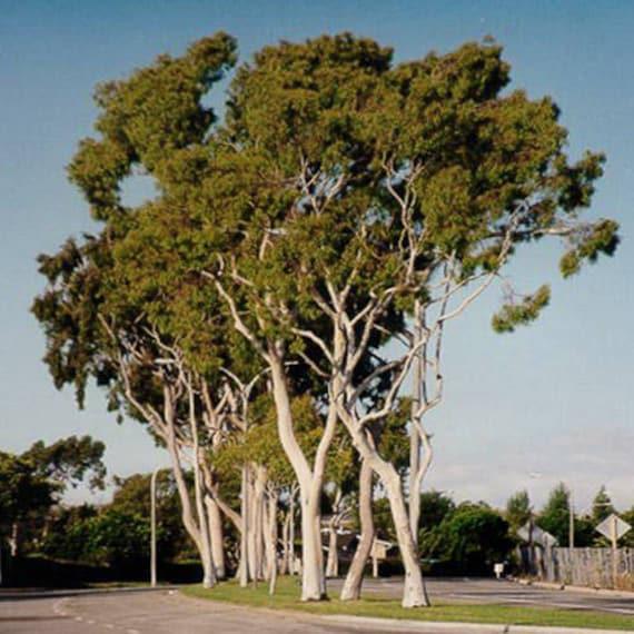 Graines//Seeds Corymbia citriodora 50 Eucalyptus citriodora
