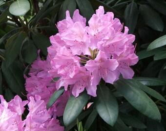 20  Seeds Rhododendron catawbiense grandiflora