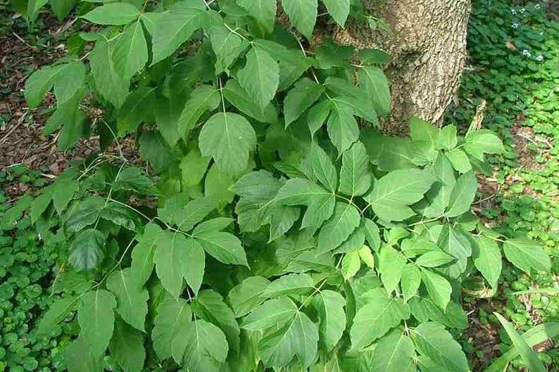 5 Acer Negundo Boxelder Maple Seeds Manitoba Maple Tree Etsy