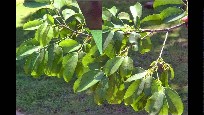 25 Diospyros ebenum Seeds, Ceylon Ebony Seeds , India Ebony Tree Seeds