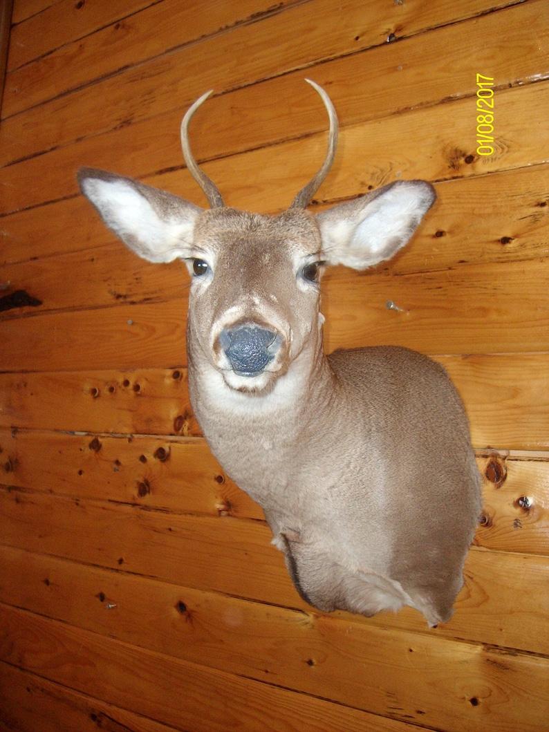 Northern Maine Buck Mount