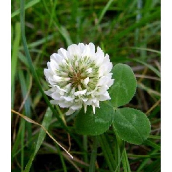 20 000 White Clover Seed